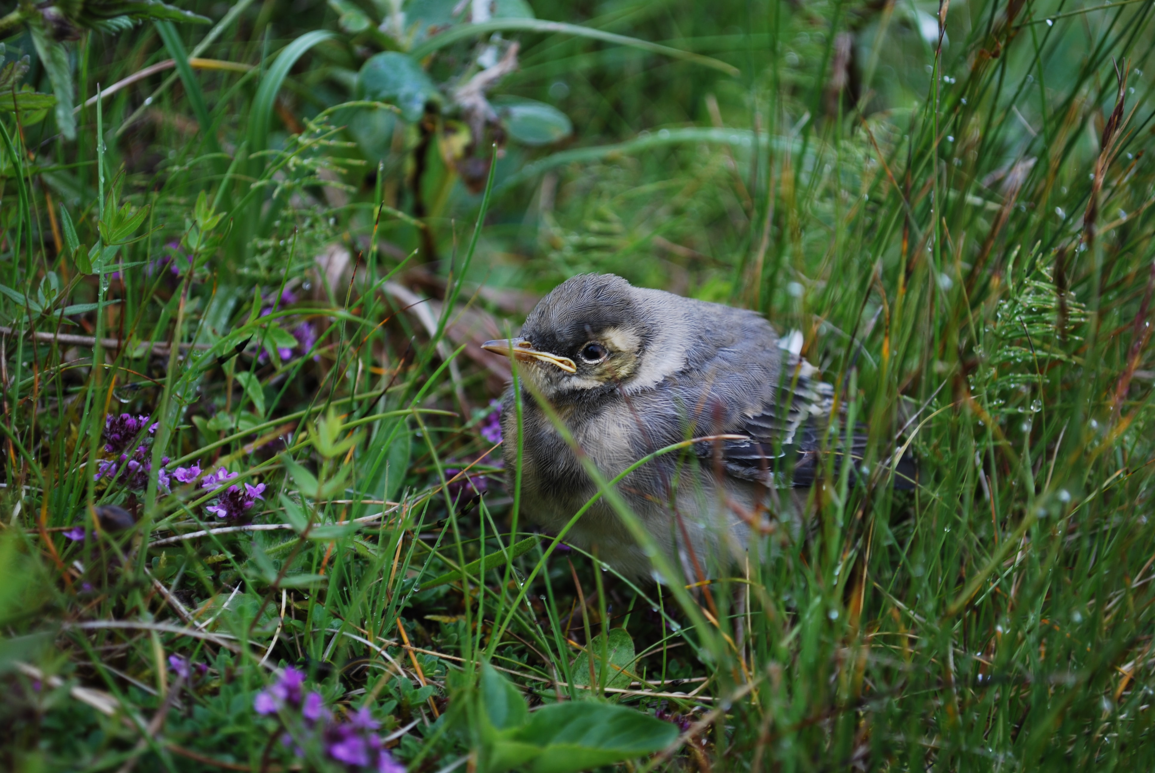 gray bird surrounded by green grass at daytime