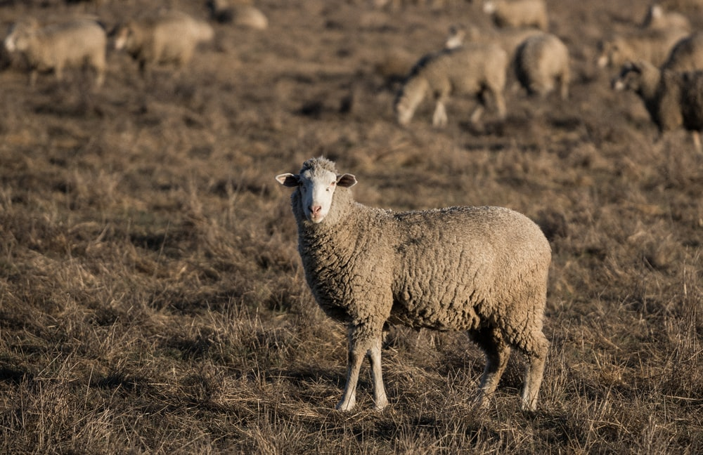 sheep standing on ground