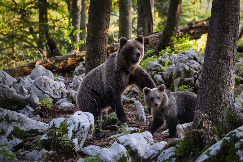 two brown bears near trees beside rocks at daytime