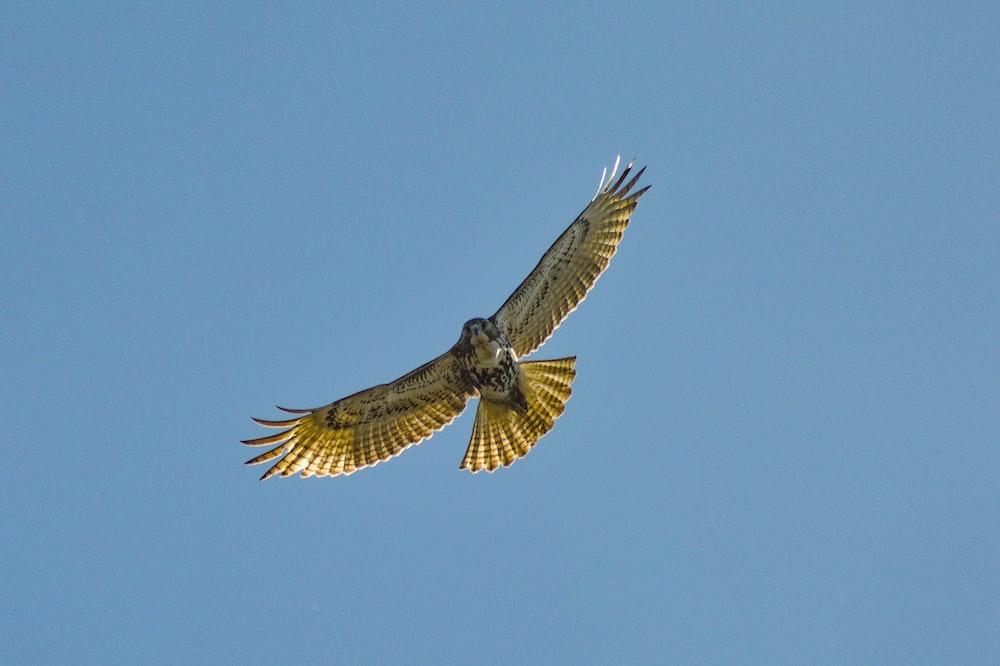 flying hawk in sky