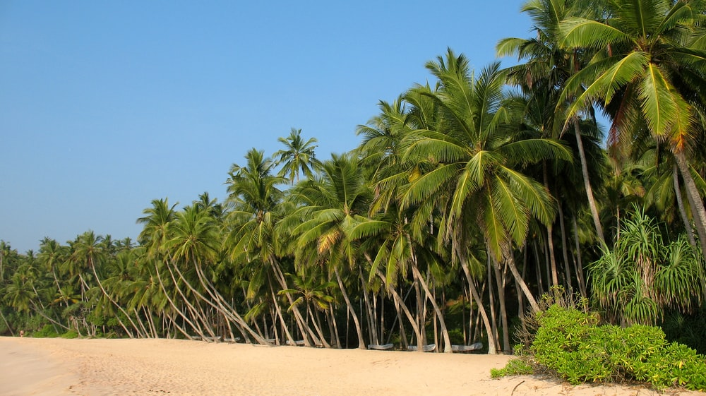 green coconut tree on sea