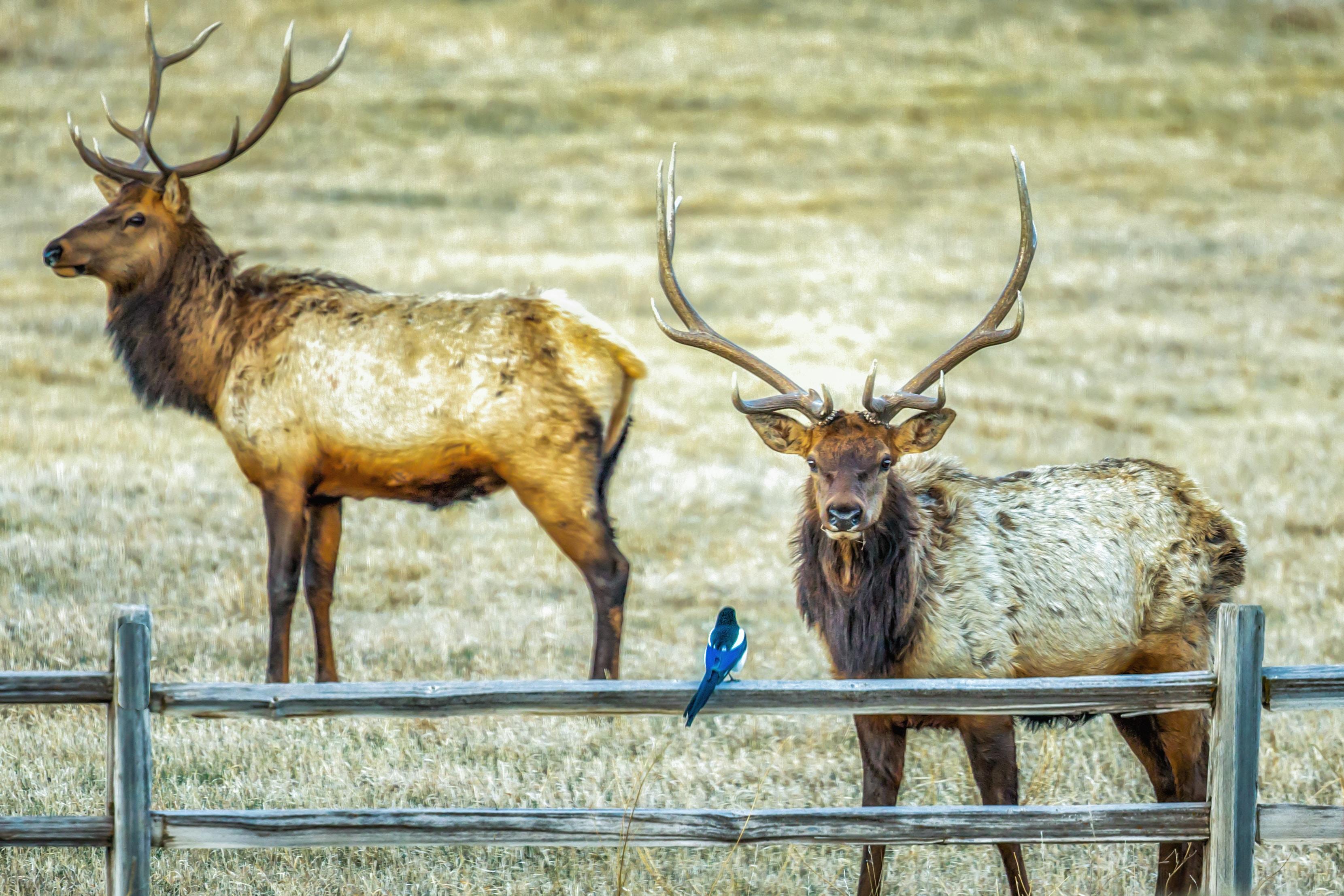 two buck inside barn facing blue bird