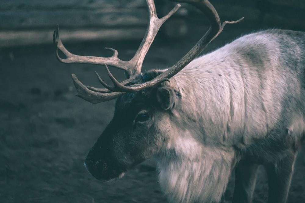 wildlife photography of buck