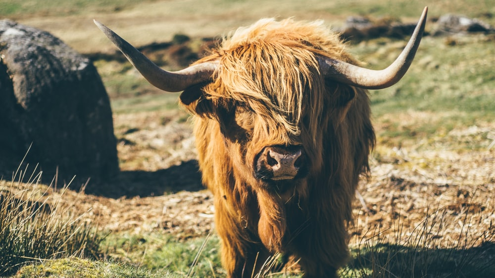 brown yak on grasses during daytime
