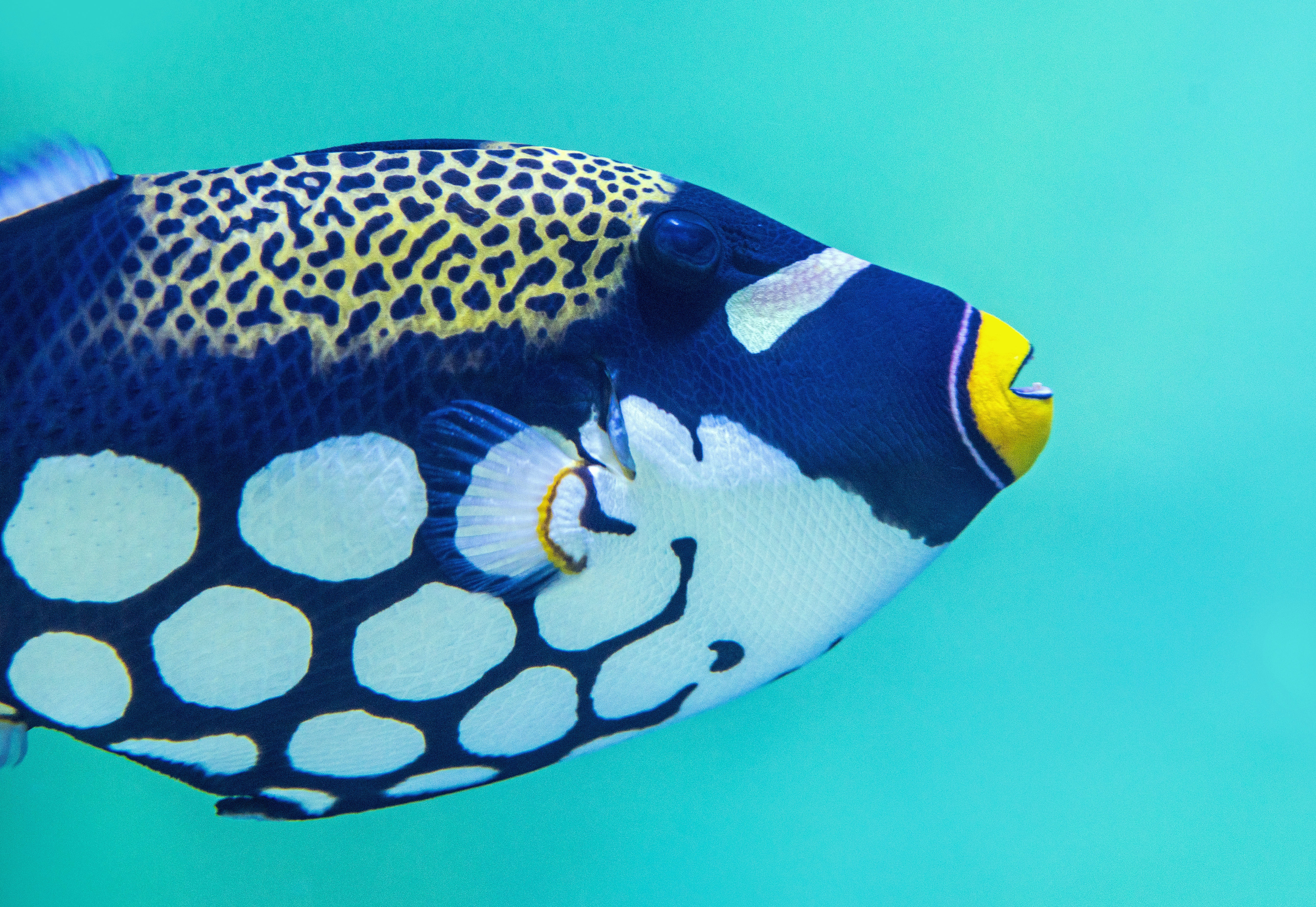 blue and white tang fish