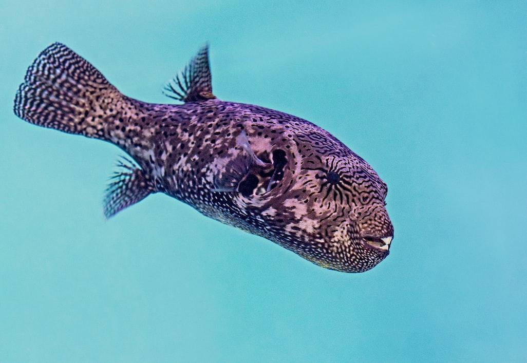 Ikan buntal yang berenang bebas