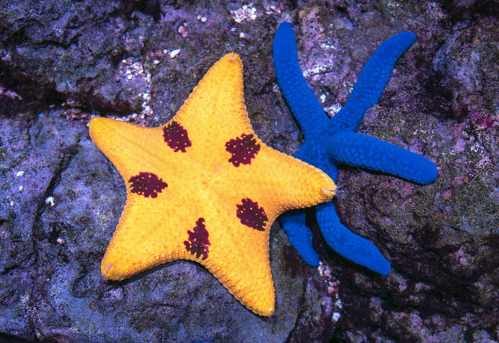 yellow and blue star fish