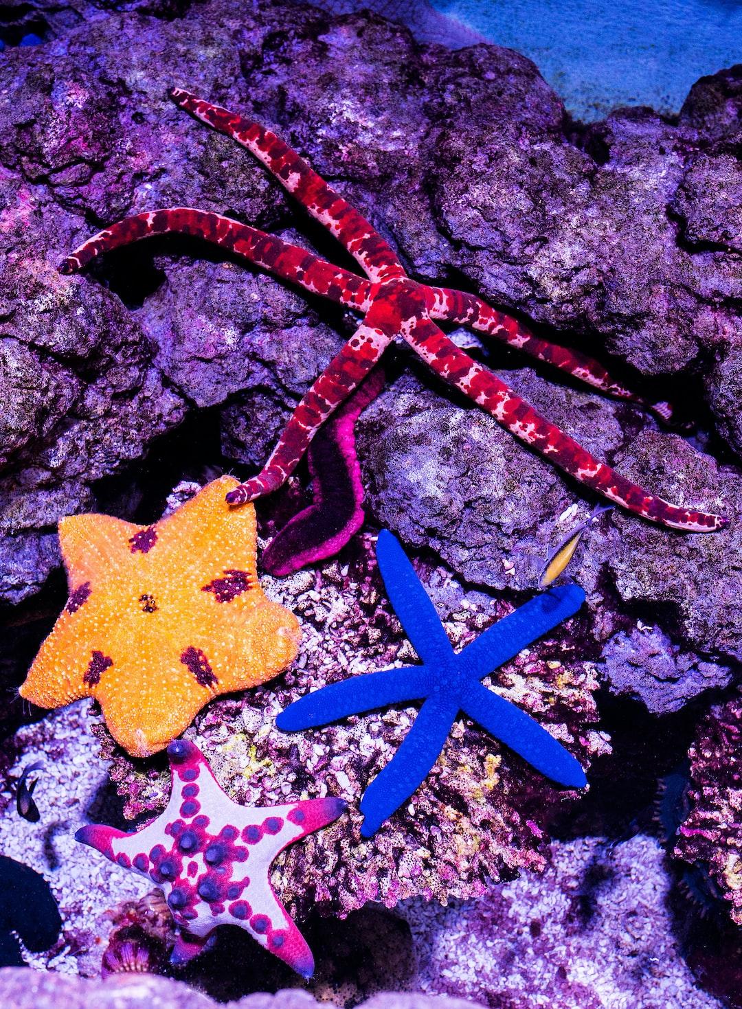 Four different starfish species in the touch tank at the Cairns aquarium. Top: Rose-blotch Seastar, Left: Elegant Seastar. Right: Blue Linckia Seastar. Bottom: Chocolate Chip Seastar.