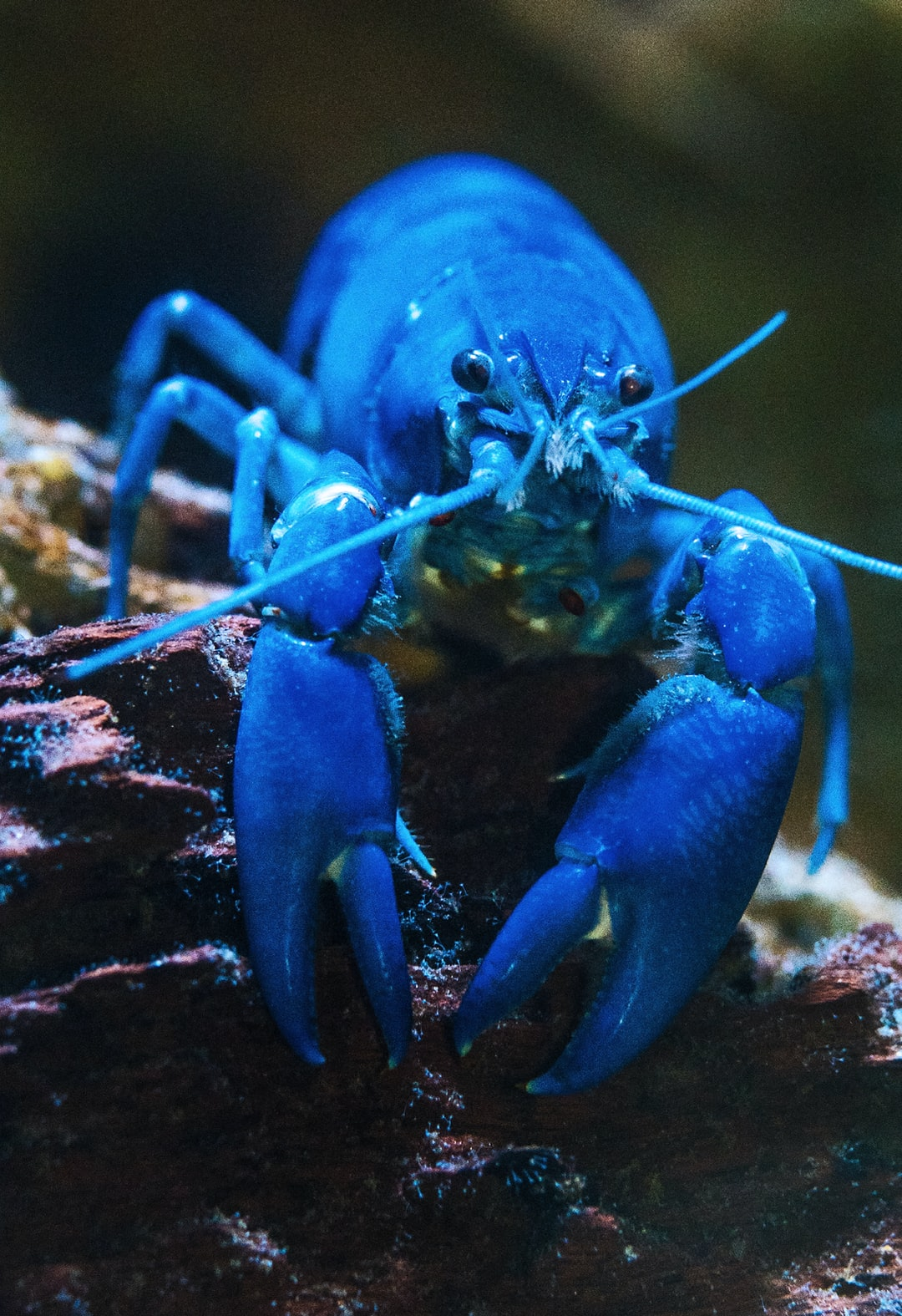 """Yes, the lobster really is that blue! A bit larger than a thumb. The zoological name of this lobster is Cherax destructor. The destructor bit is because they have a habit of burrowing into farm dam walls, and the tunnels get bigger and bigger, and finally the whole dam wall can wash away… hence """"destructor""""!"""