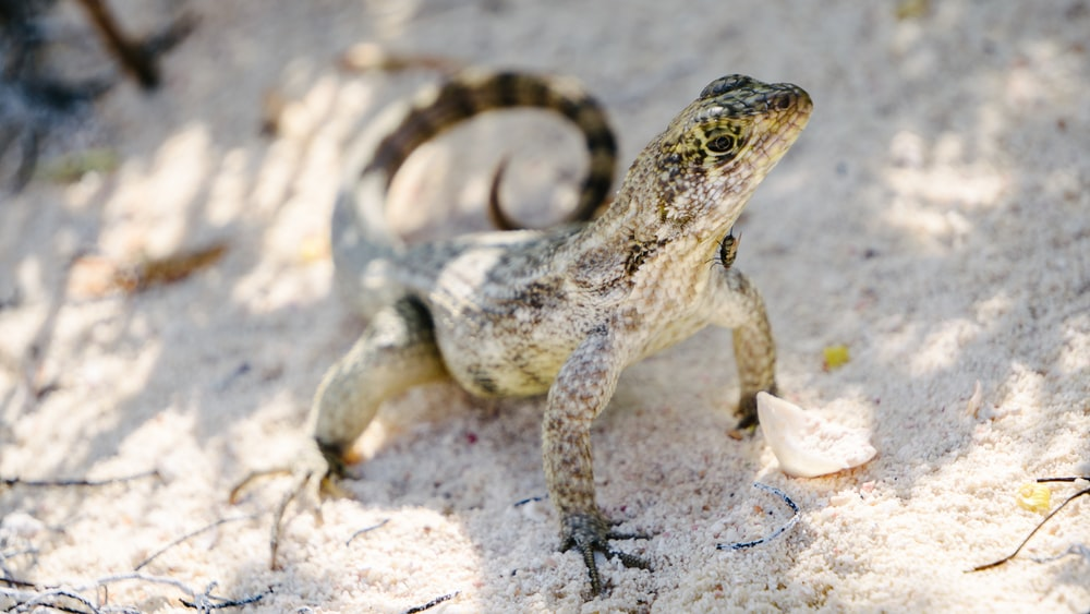 shallow focus photography of gray lizard