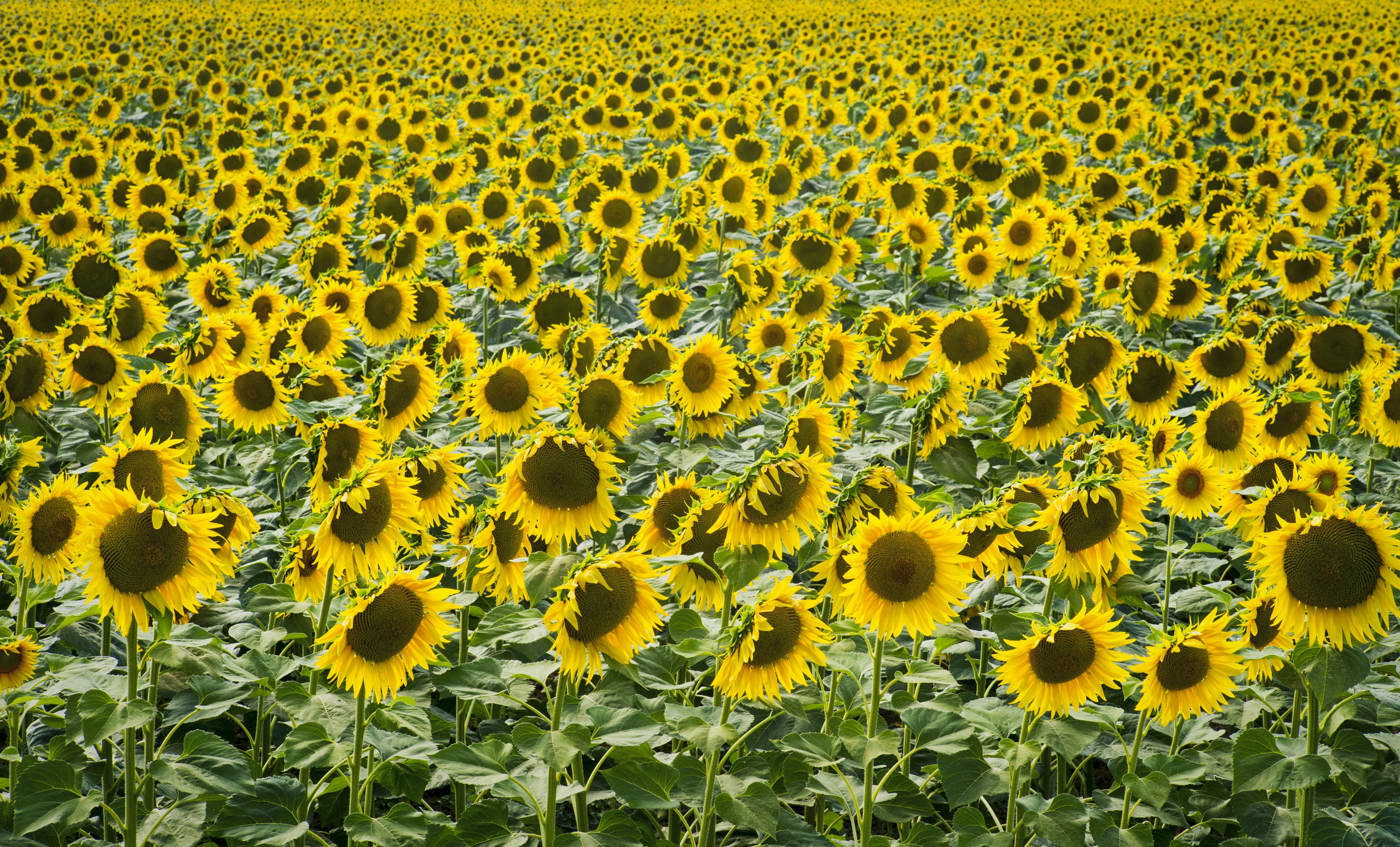 sunflower field during daytime