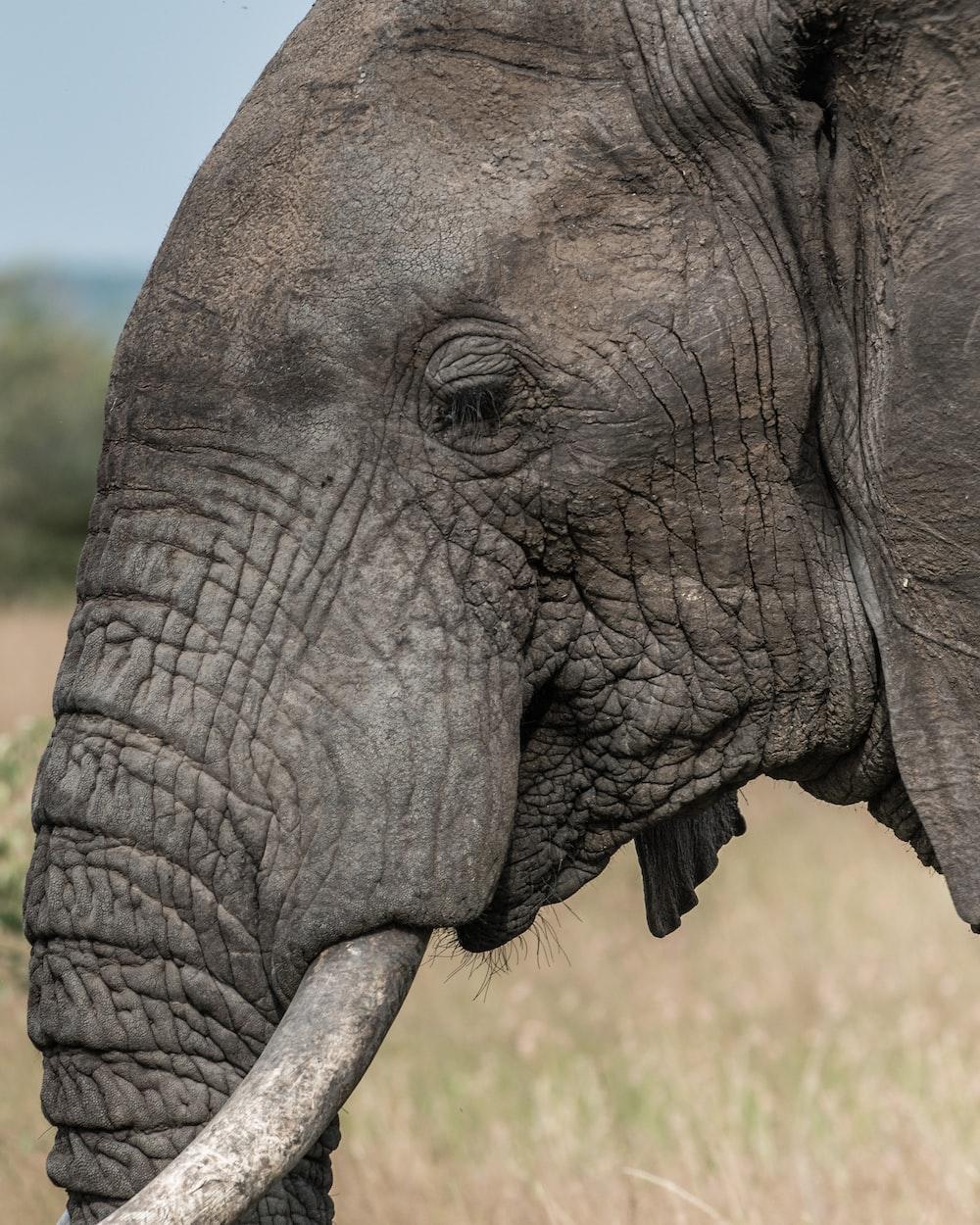 elephant face pictures download free images on unsplash. Black Bedroom Furniture Sets. Home Design Ideas
