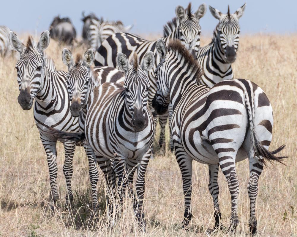 group of zebra