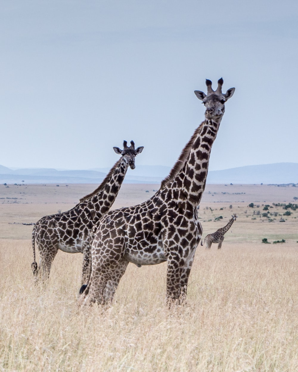 giraffes at the middle of the field