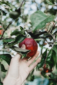 selective focus photo of person about to pick the red apple from it's tree