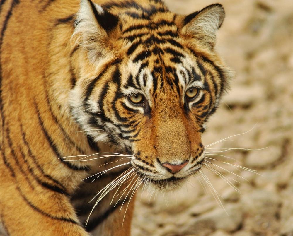 brown tiger