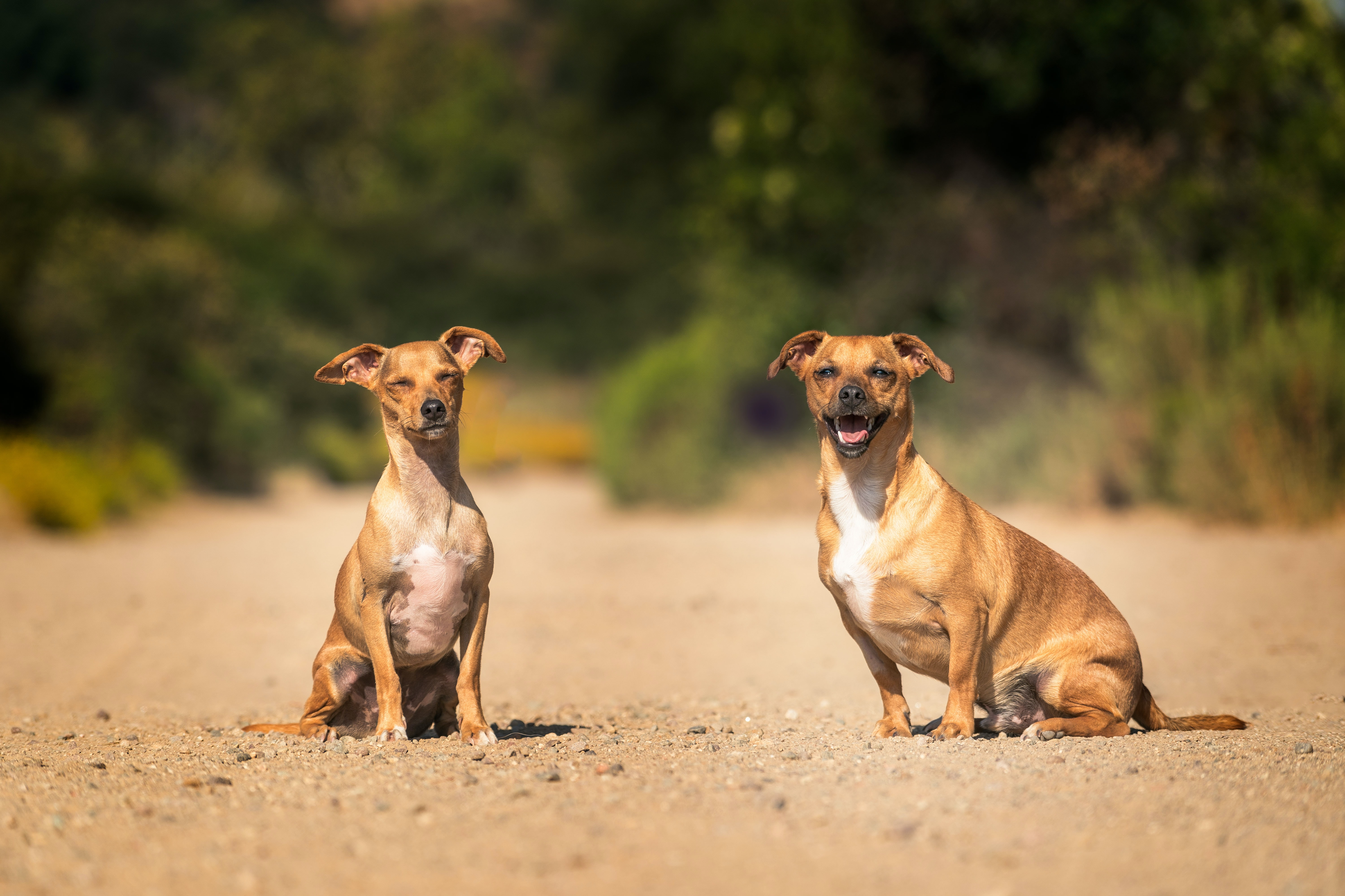 selective focus photo of two tan dogs