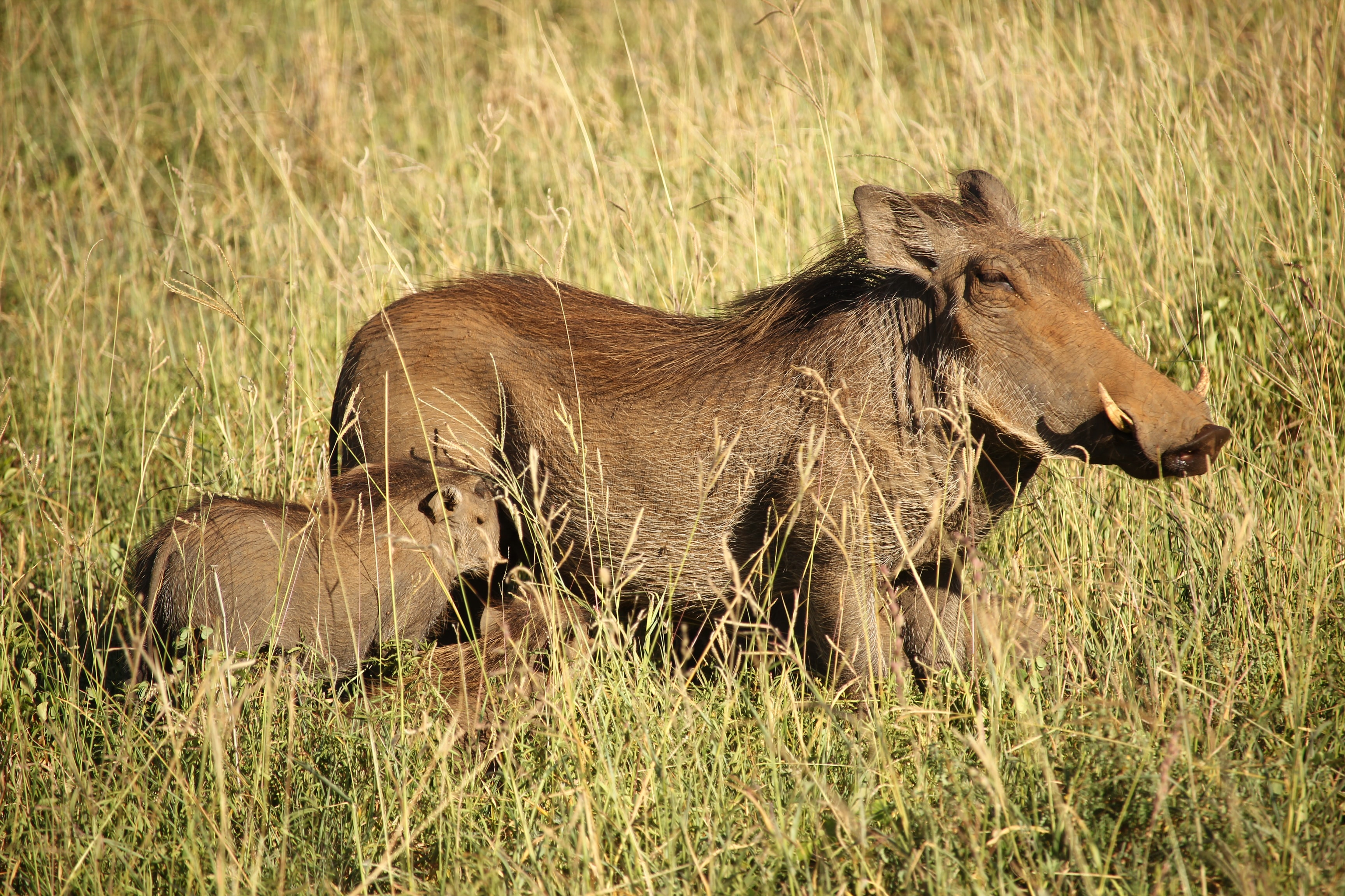 brown warthog and young warthog surrounded by grass during daytime