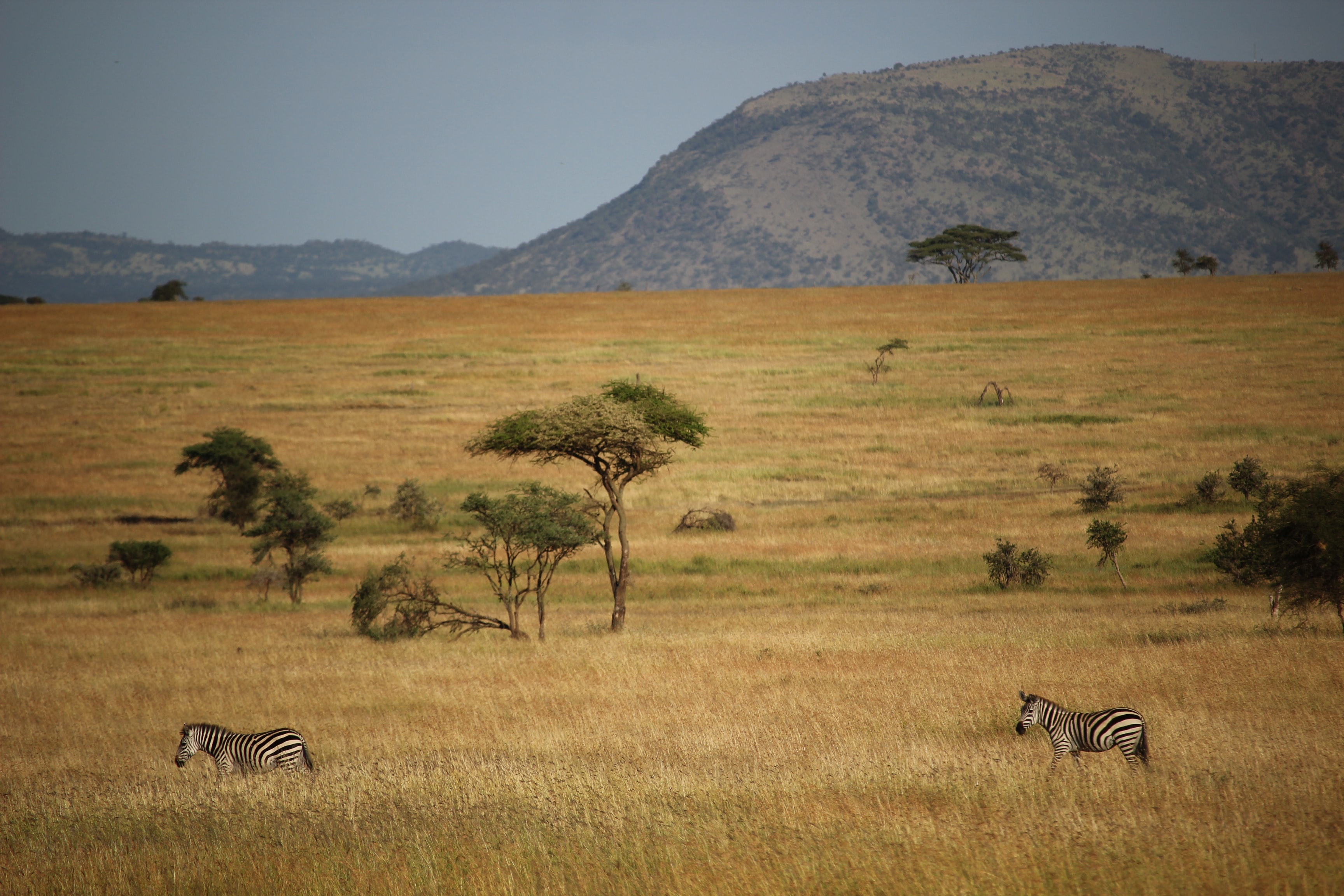 two zebras on grass field and mountain at distance