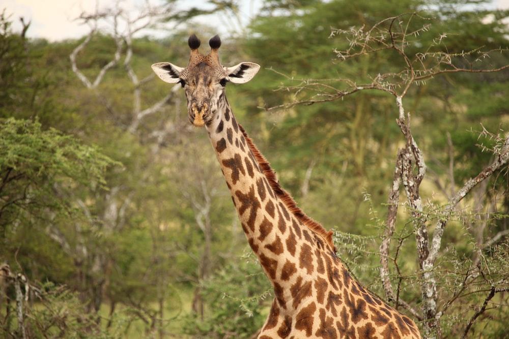giraffe near green trees at daytime