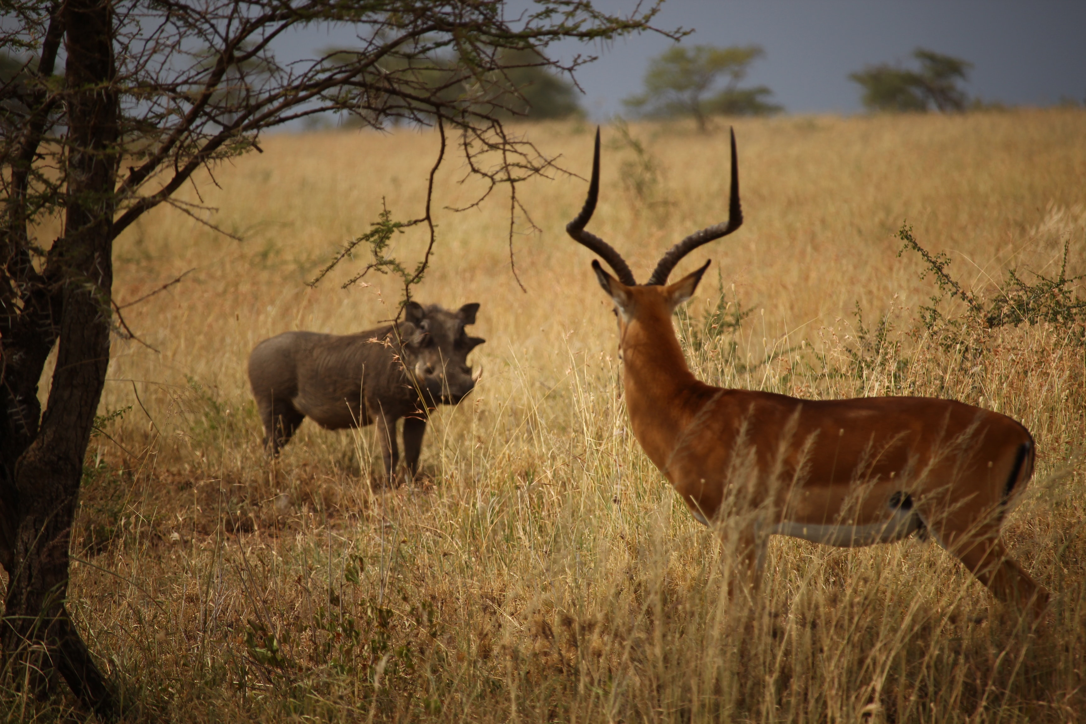 hippopotamus and deer staring at each other