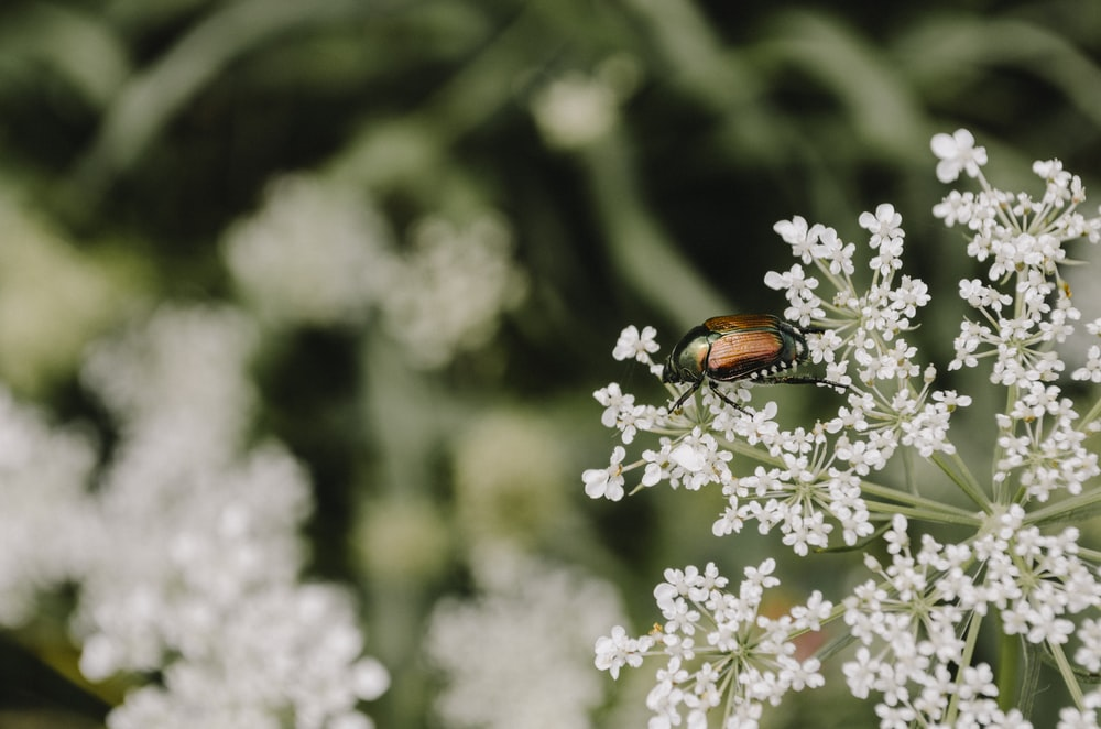 brown insect perched on white petaled flower