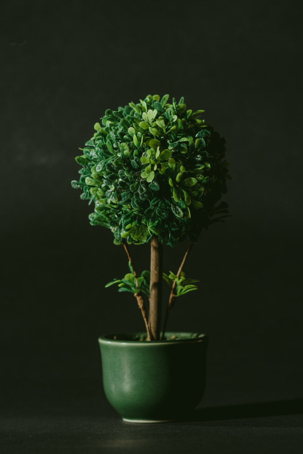 green leafed bonsai tree against black background