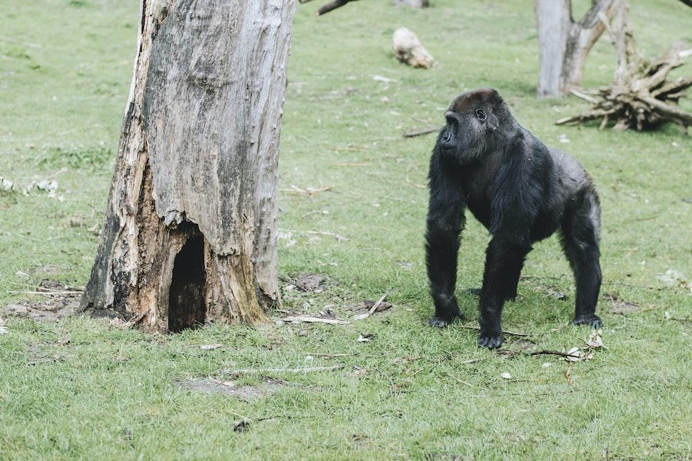 black monkey standing near tree