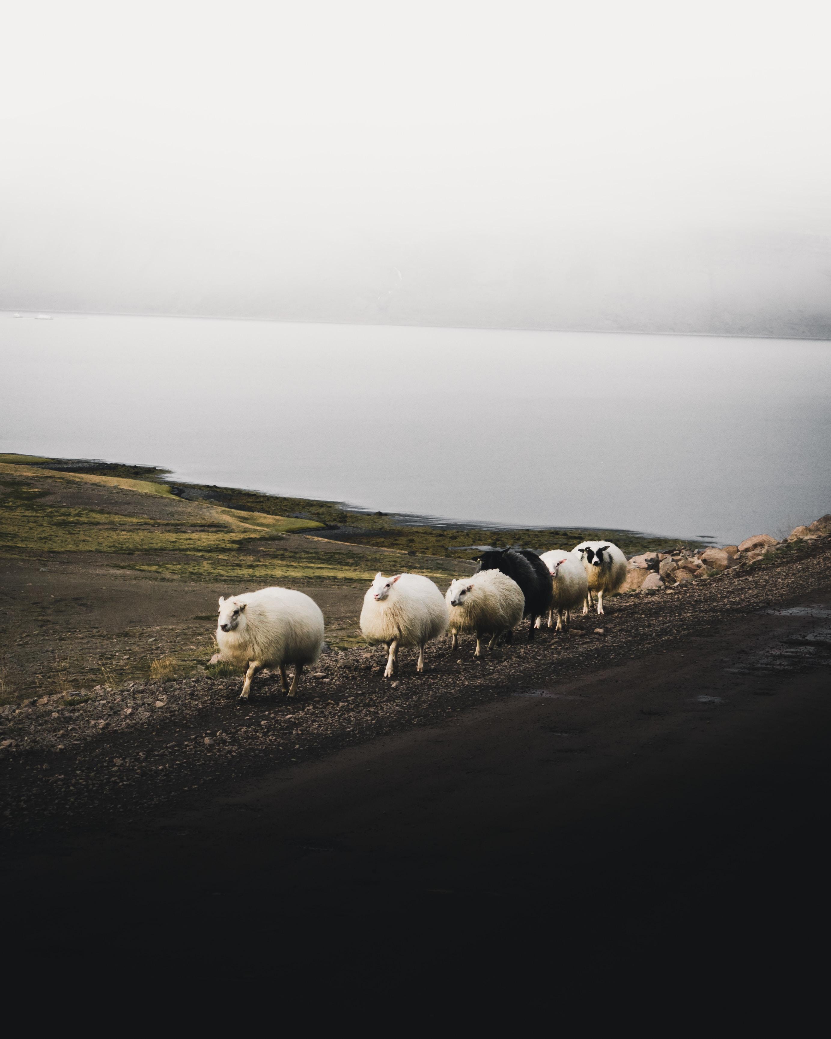 white sheep falling in line near body of water