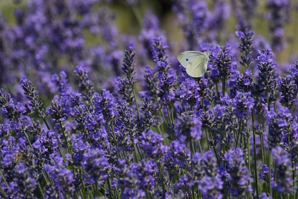 white butterfly on purple petaled flower