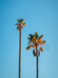 two green coconut trees under blue sky