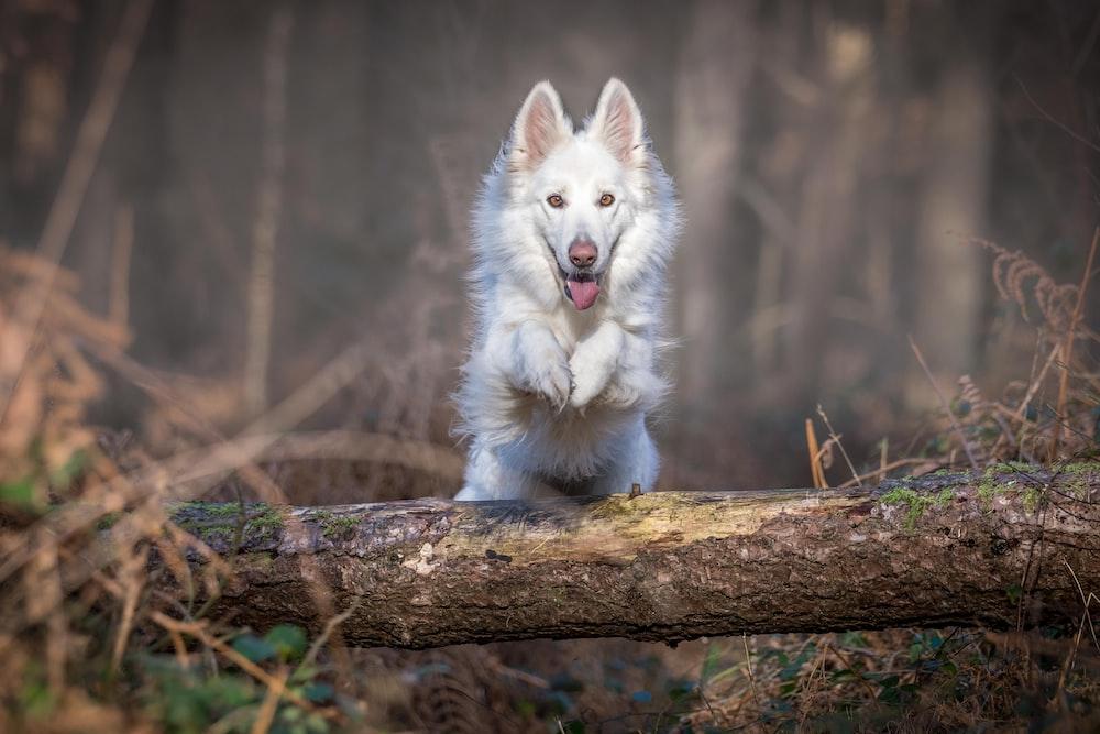 white dog jumping over log
