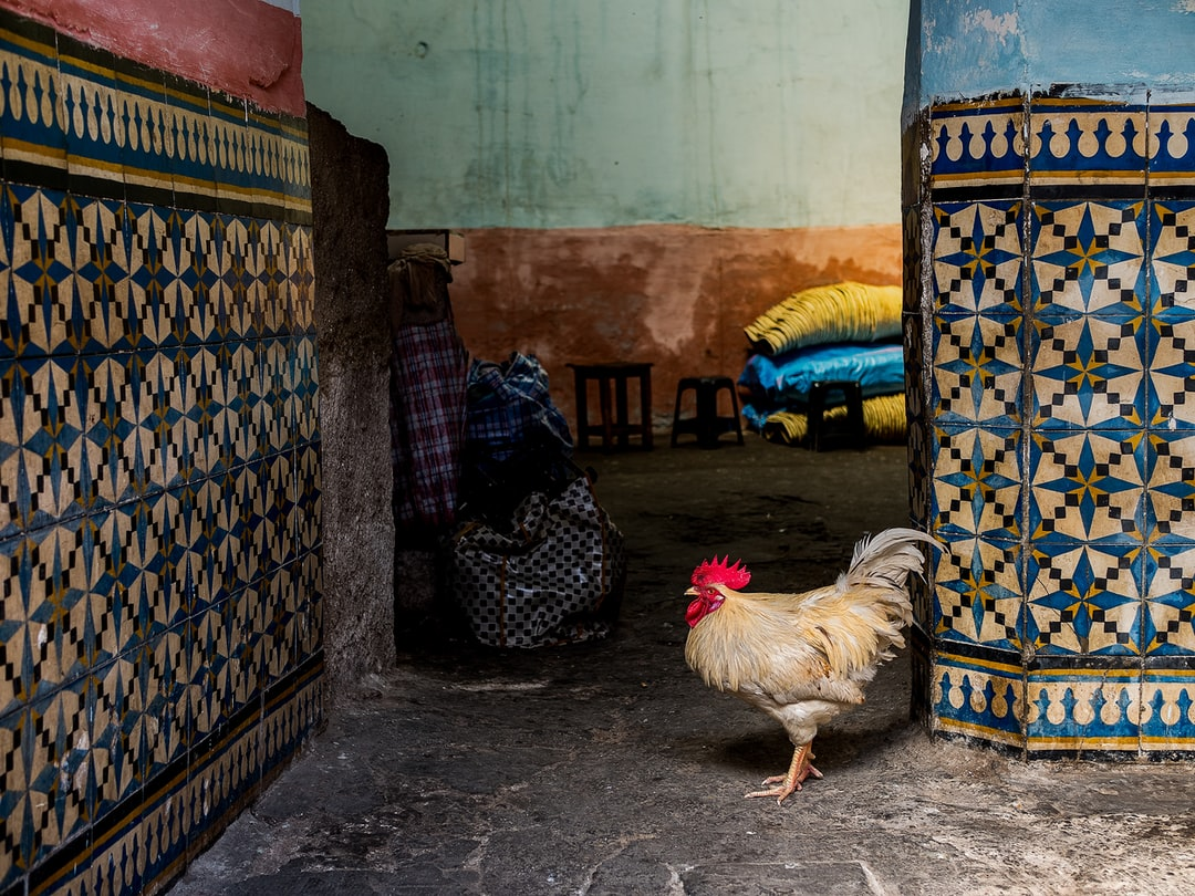 Chicken posing next to colourful tiles