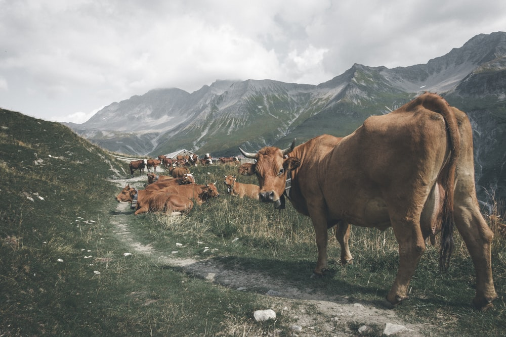herd of brown cows on pathway near mountain