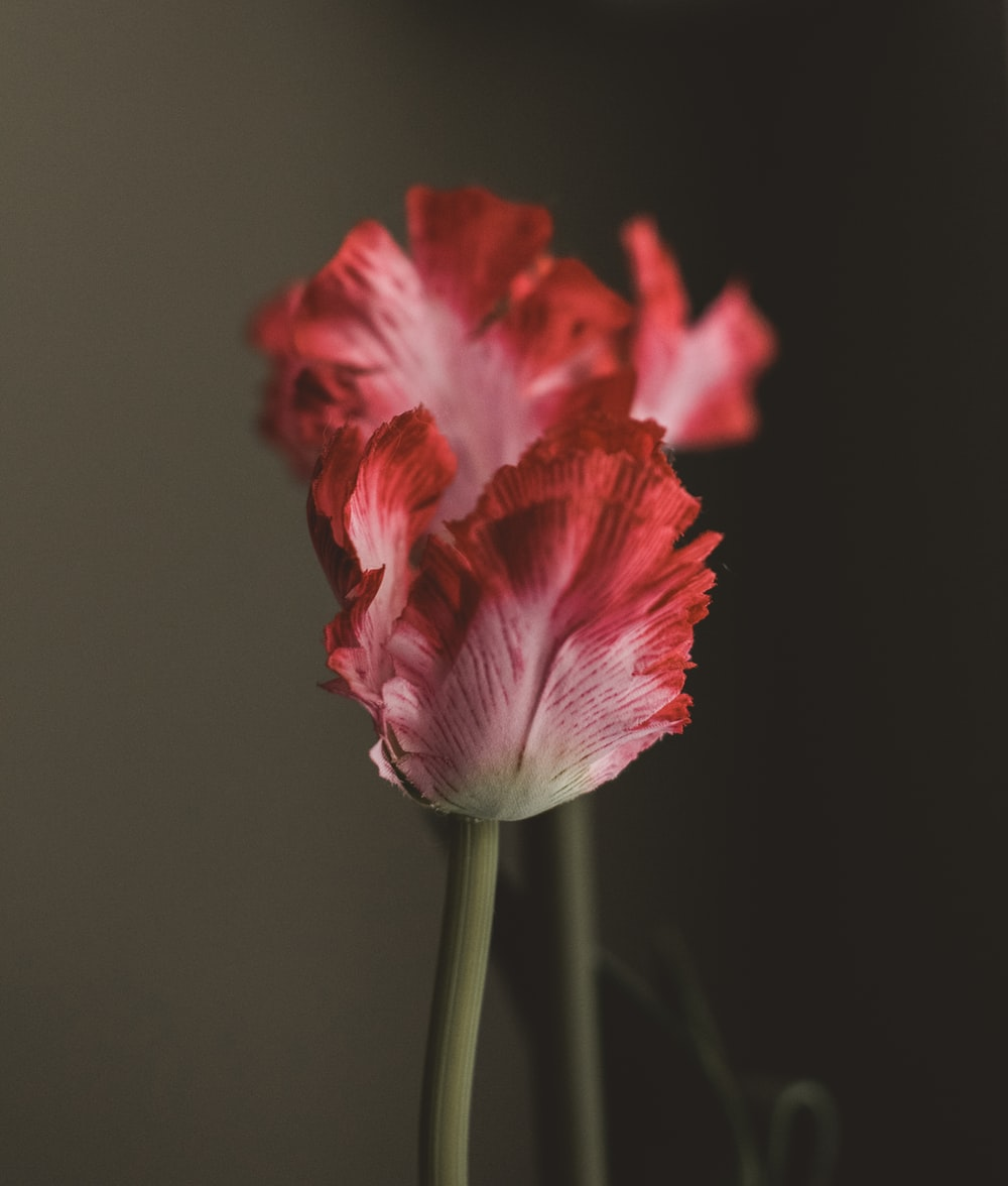 selective focus photo of red petaled flower