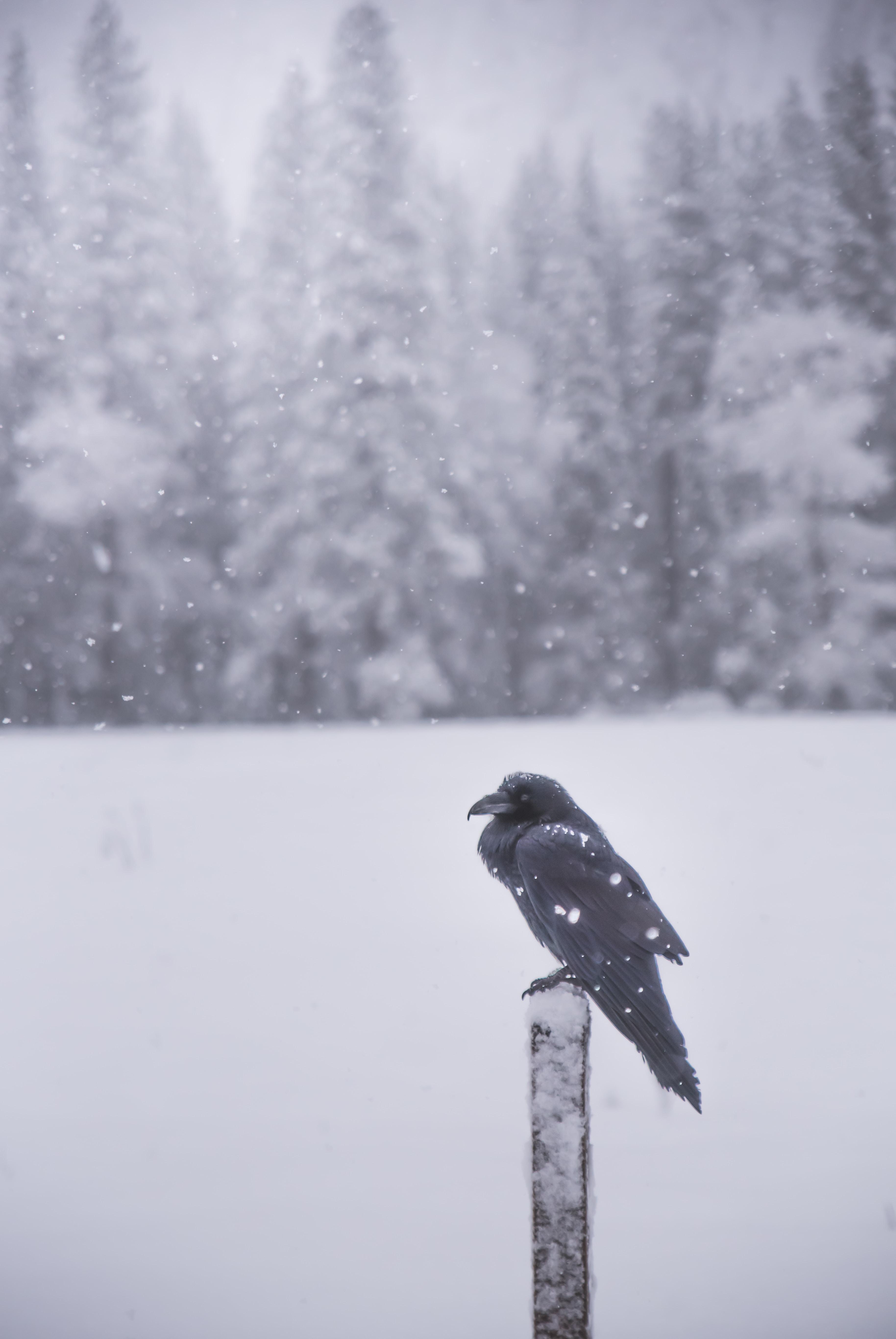 raven perching on black lumber