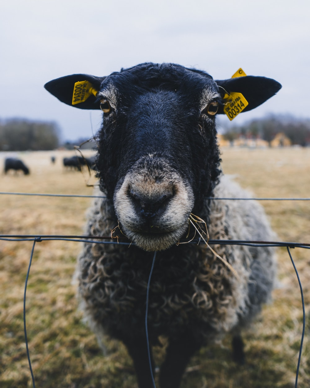 black sheep with yellow tag on ears