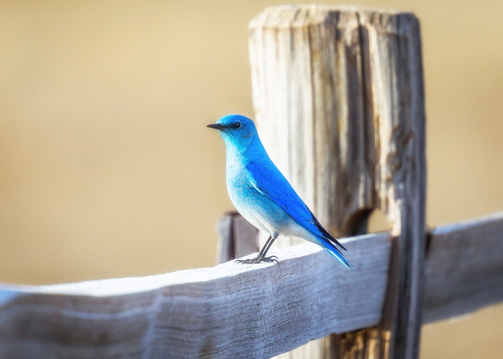 blue bird on a fence