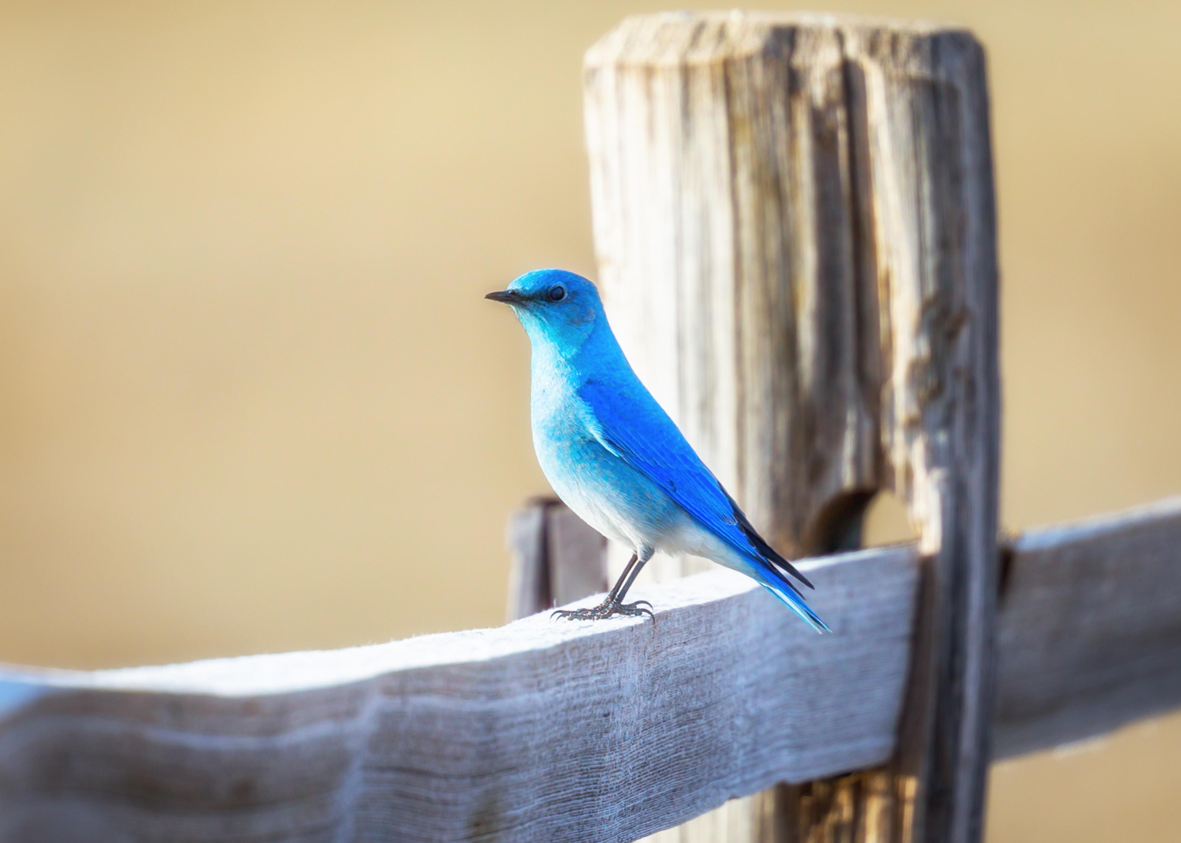 blue bird on wooden fence