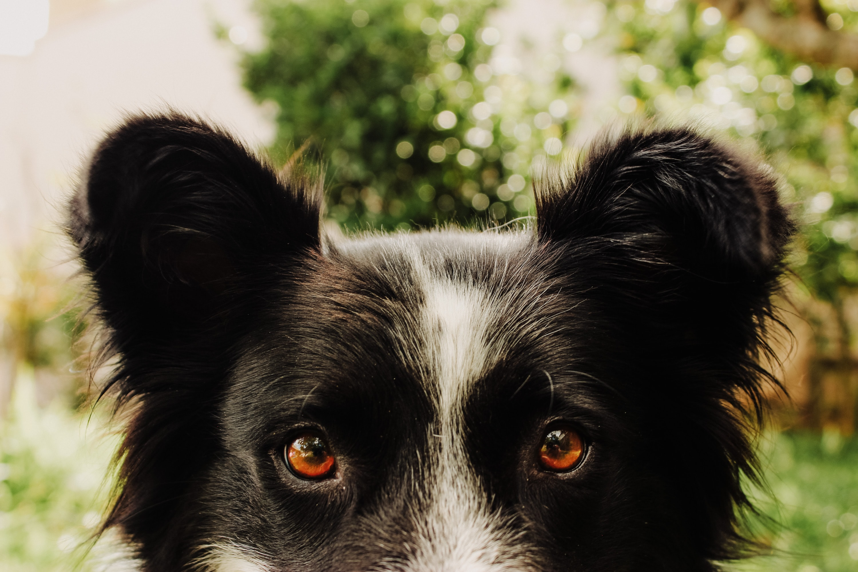 short-coated black and white dog