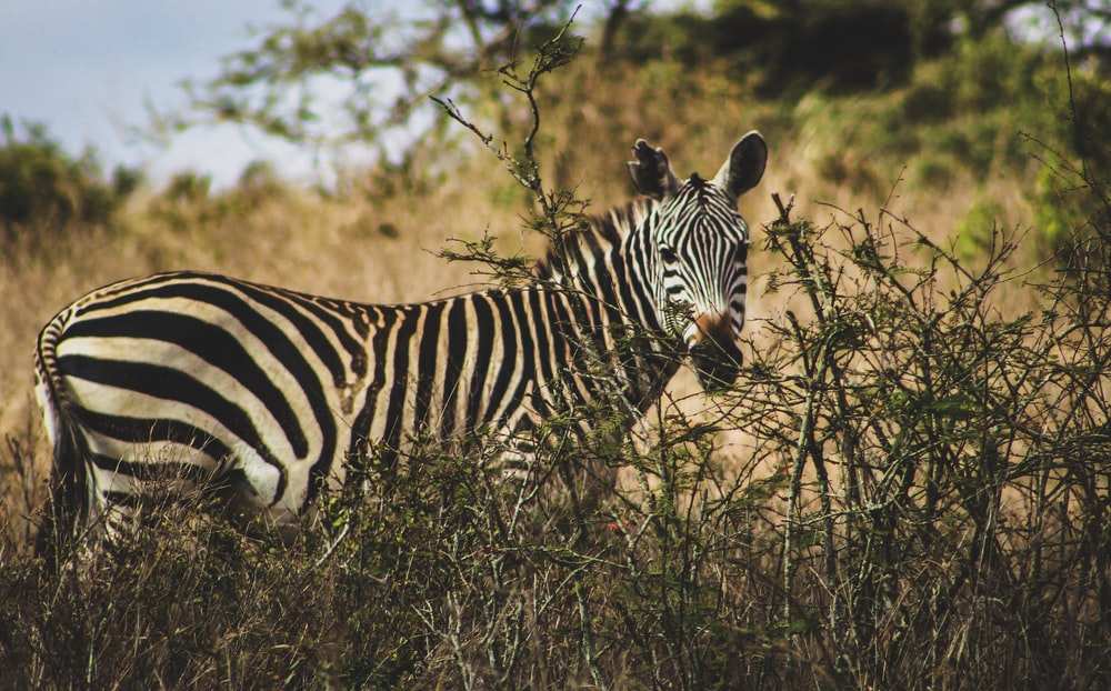 zebra surrounded by green grass