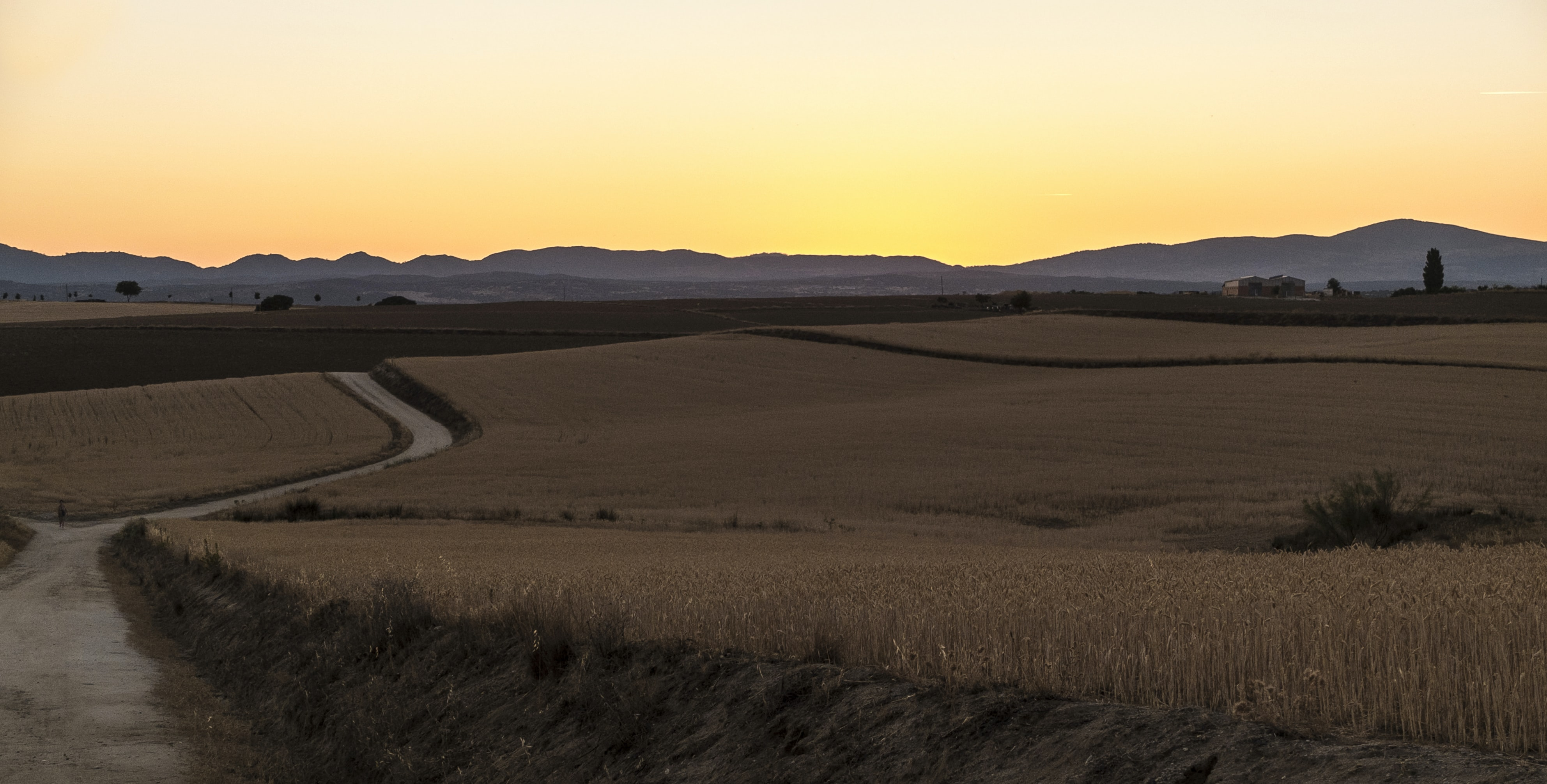 wheat plant field during sunrise