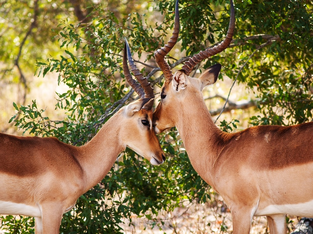 closeup photography of two brown antelopes standing beside green plant