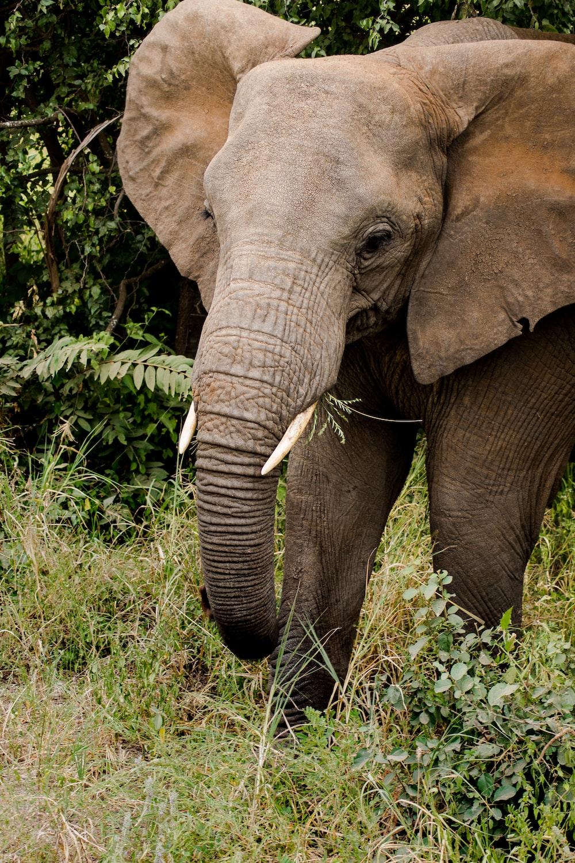 brown elephant on green grass