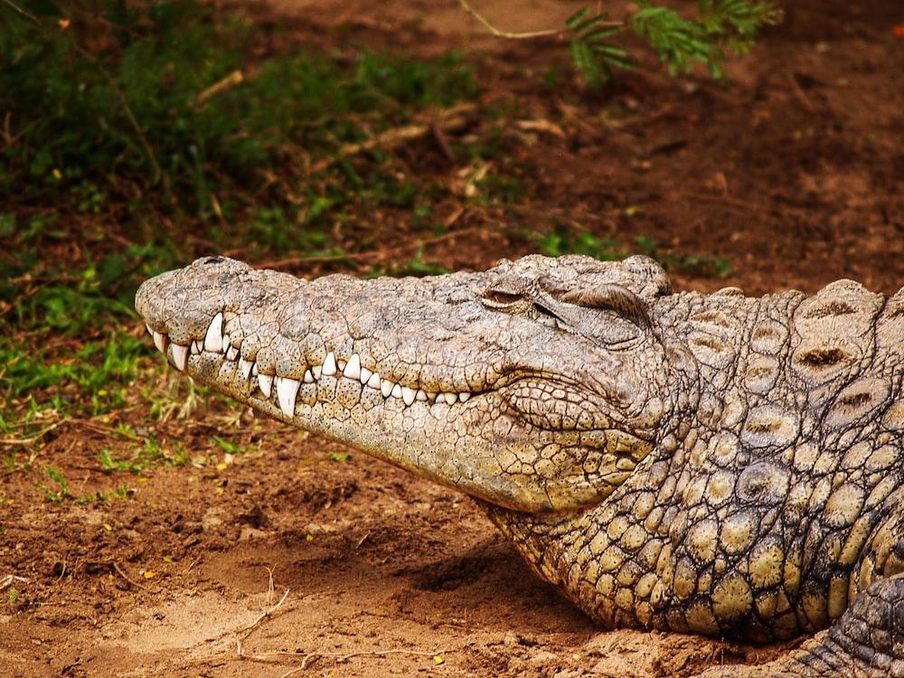 gray alligator near grass field