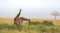 two giraffes at grass field