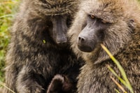 closeup photography of two brown monkeys