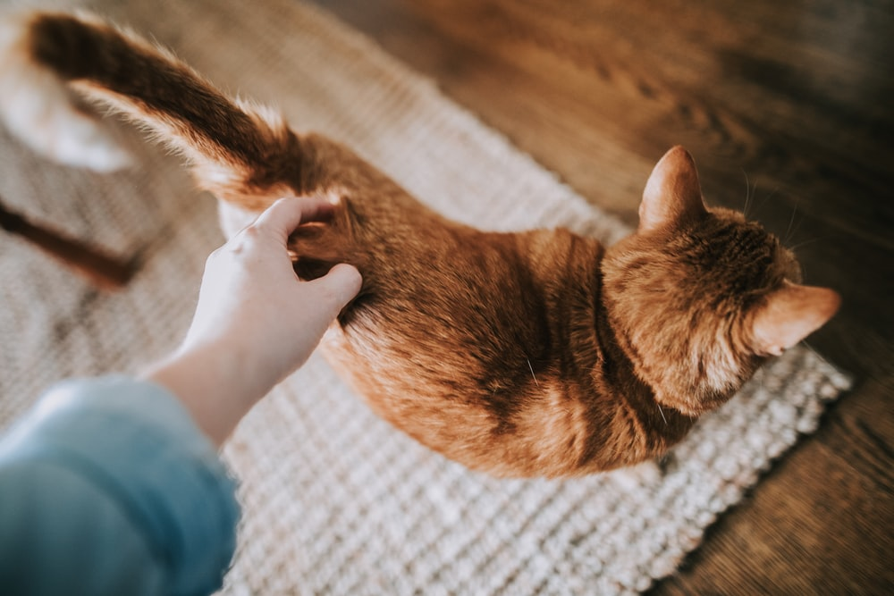 orange tabby cat on gray area rug