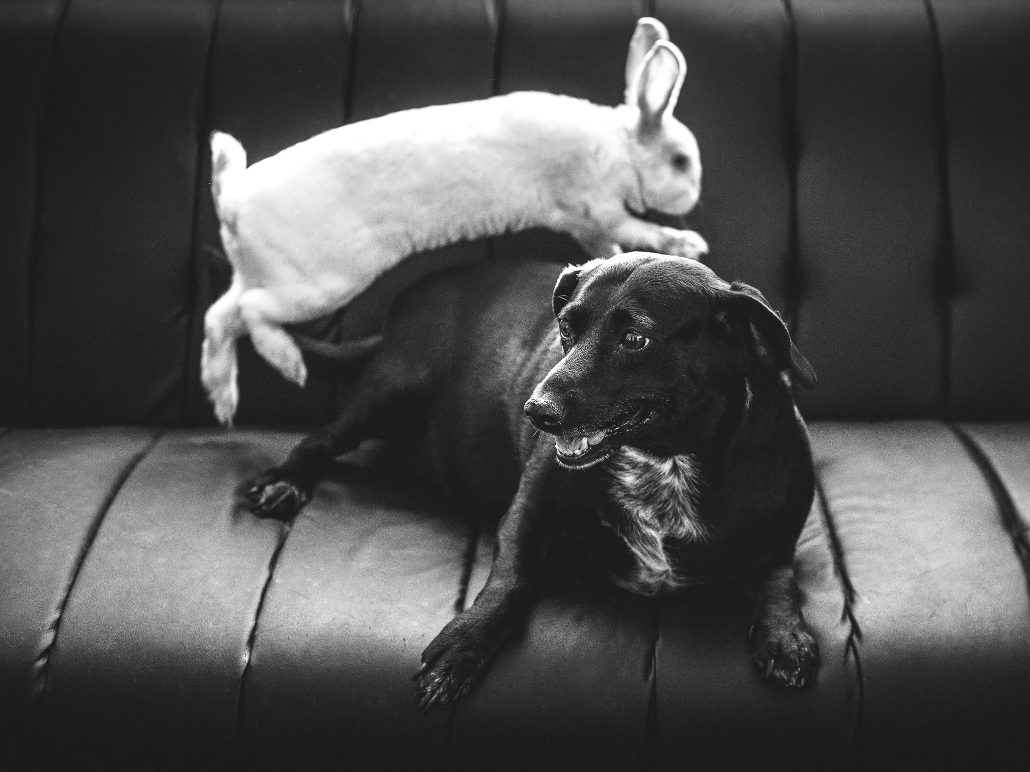 grayscale photo of rabbit and dog on vehicle back seat