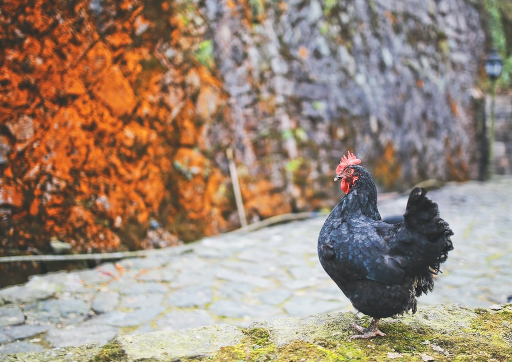 depth photography of black hen